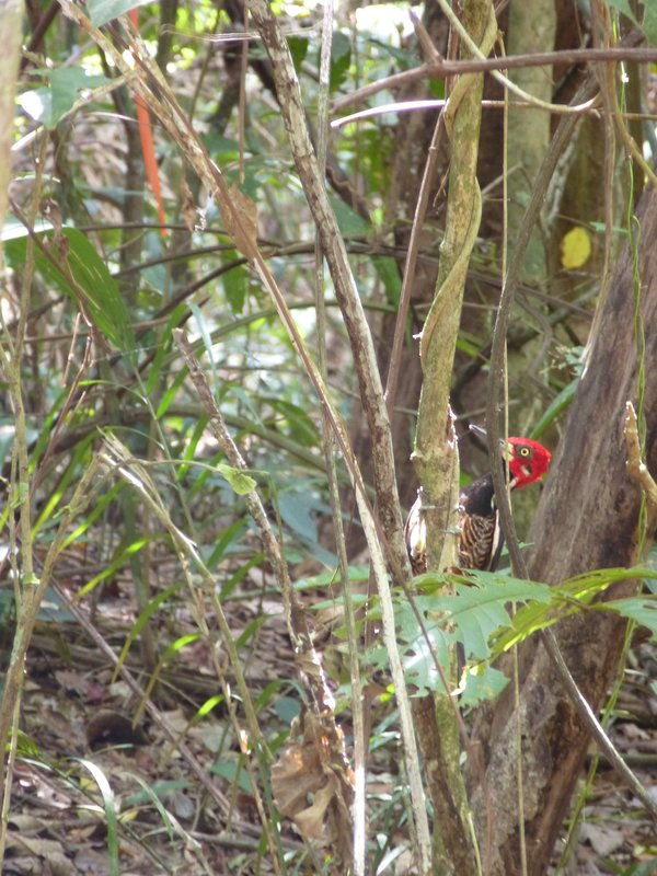 Woodpecker in Soberanía National Park