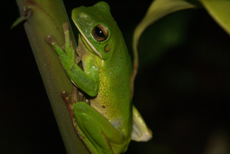 Green treefrog, Daintree Rainforest