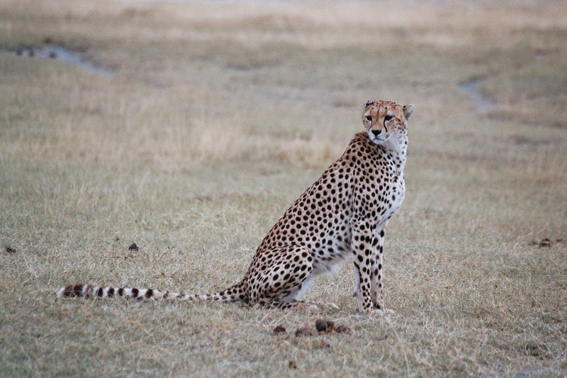 Cheetah in the Ngorongoro Crater