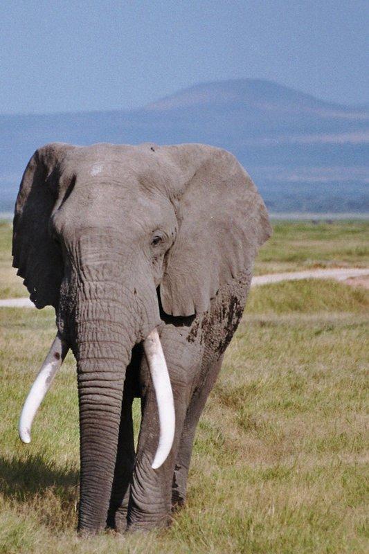 Giant Elephant in Amboseli NP