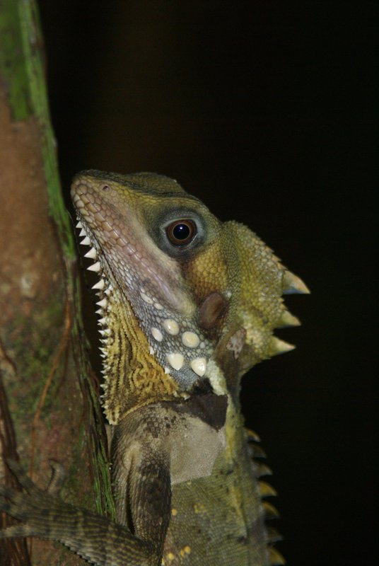 Boyd's Forest Dragon, Daintree Qld.