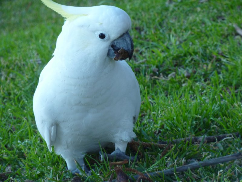 Sulphur-crested Cockatoo, Manly