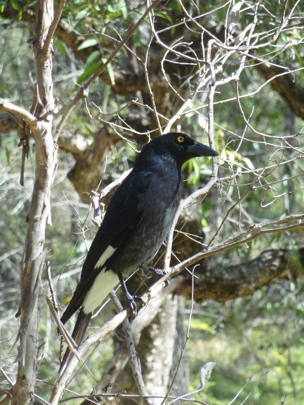 Birdlife in Warrumbungle NP
