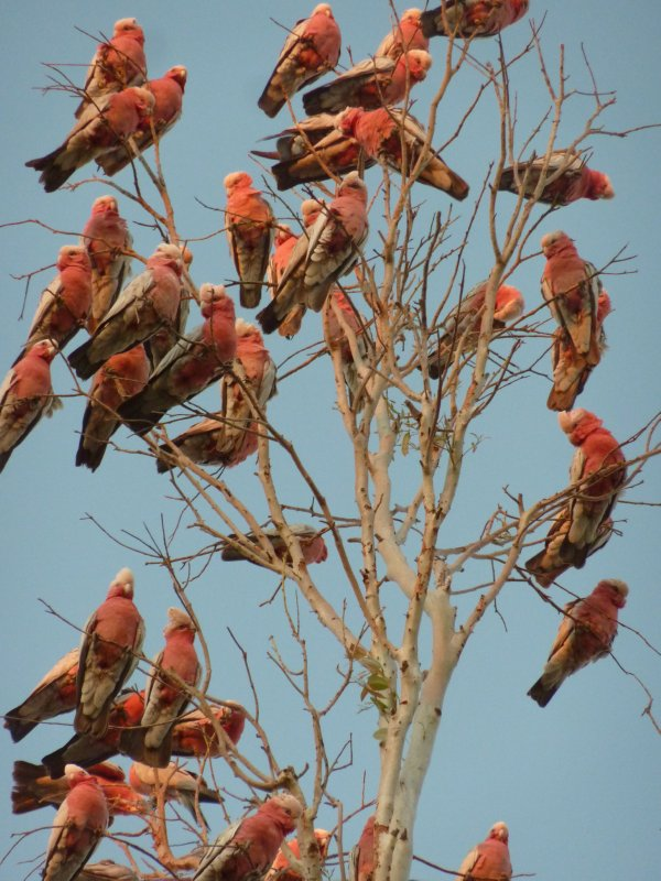 Pink Galahs, Boulia