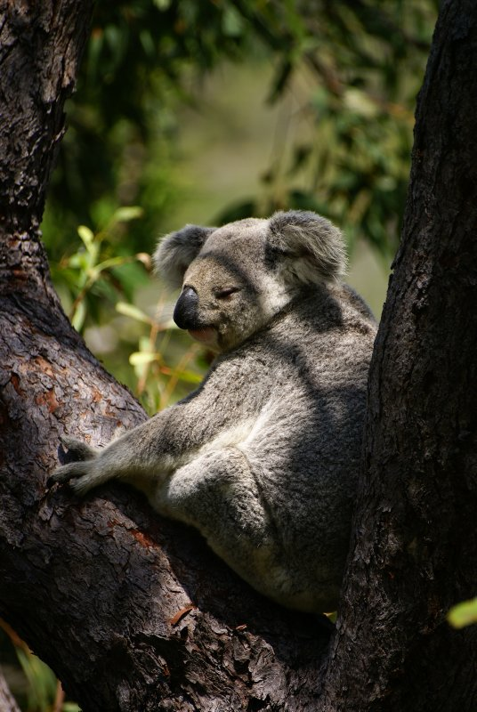 Koala, Magnetic Island