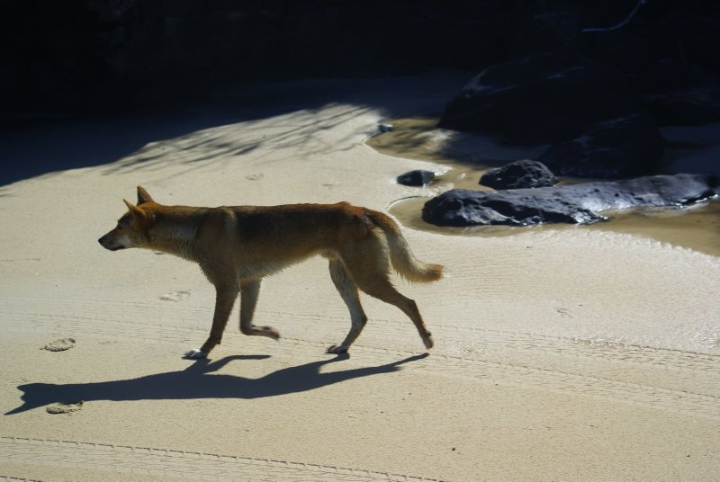 Dingo on Fraser Island beach
