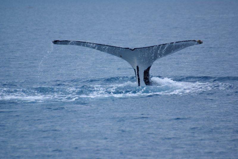 Humpback Whale, Hervey Bay, Queensland
