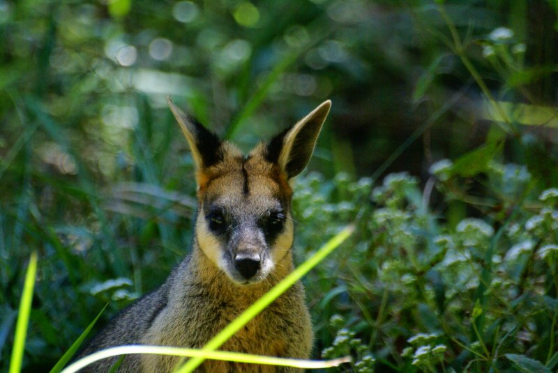 Wallaby in Carnarvon Gorge NP, Queensland