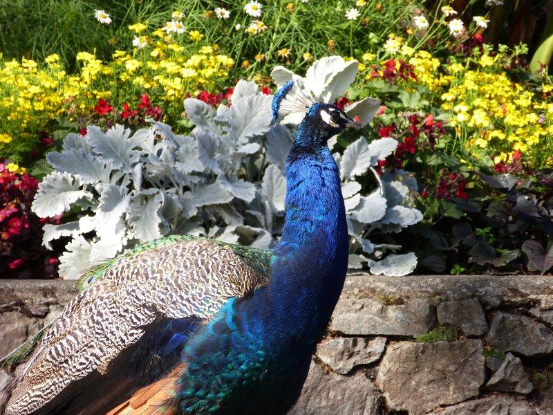 Peacock at Beacon Hill Park, Victoria