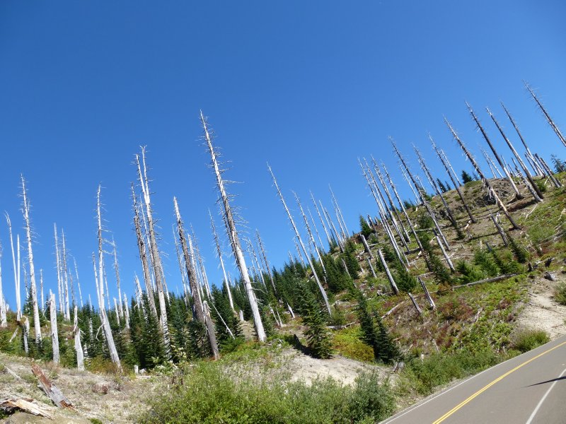 Dead Trees at Mount St Helens National Monument
