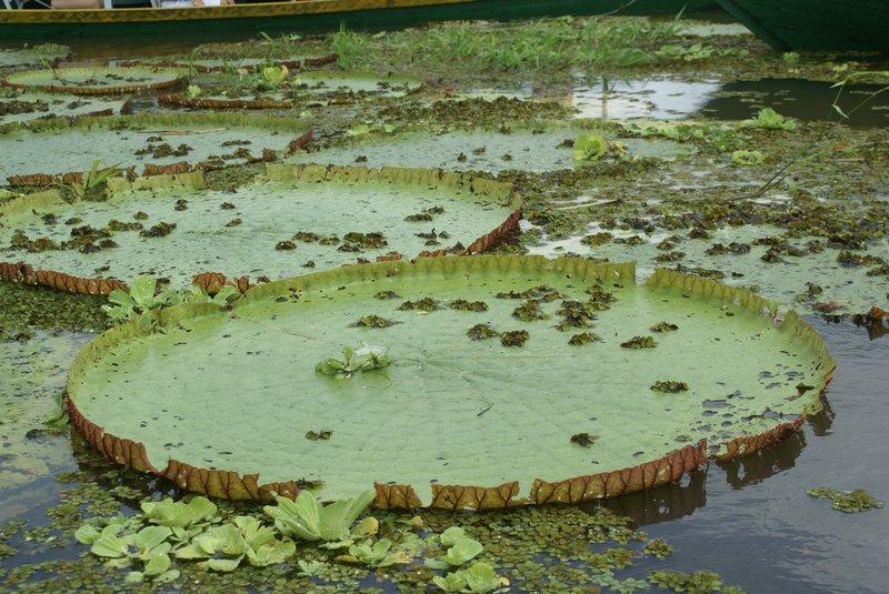 Giant waterlilies, Amazonia