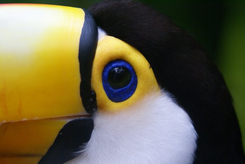 Toucan upclose