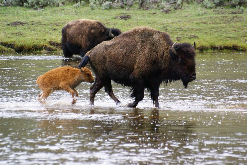 Bison crossing the water, Yellowstone
