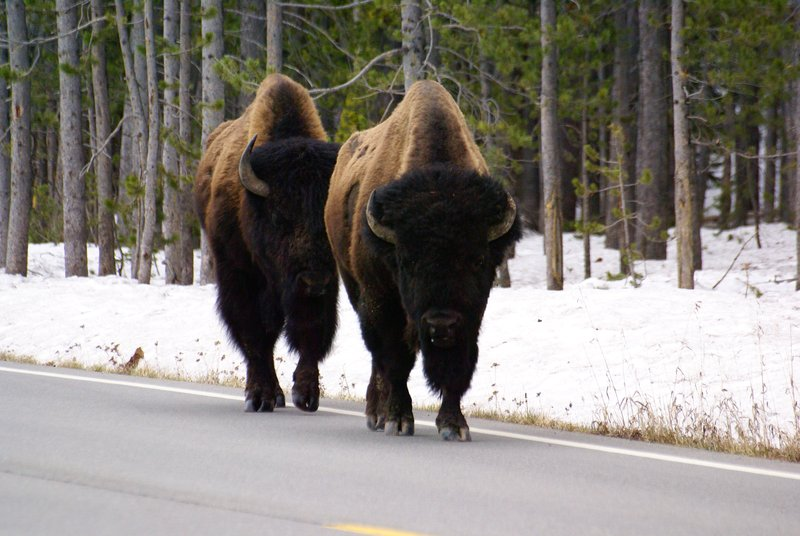 Pretty impressive bison in Yellowstone