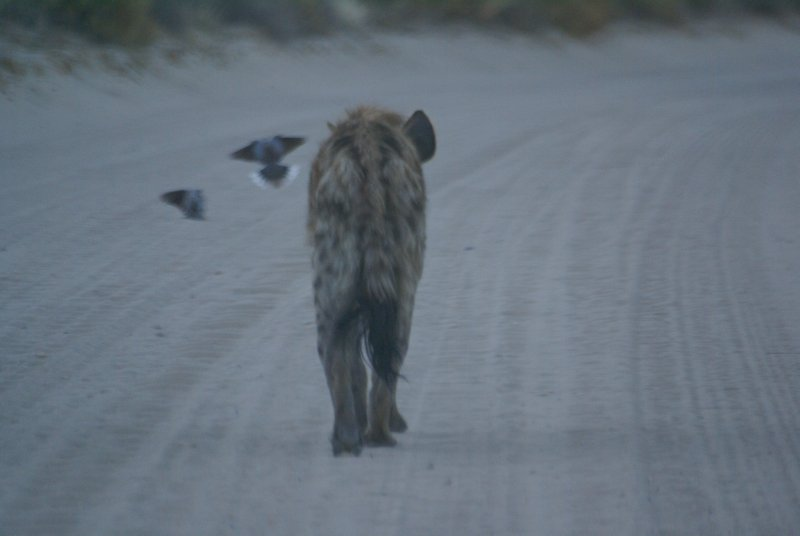 Spotted Hyena on its Kalahari roadtrip