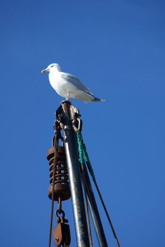 Seagull, Newfoundland
