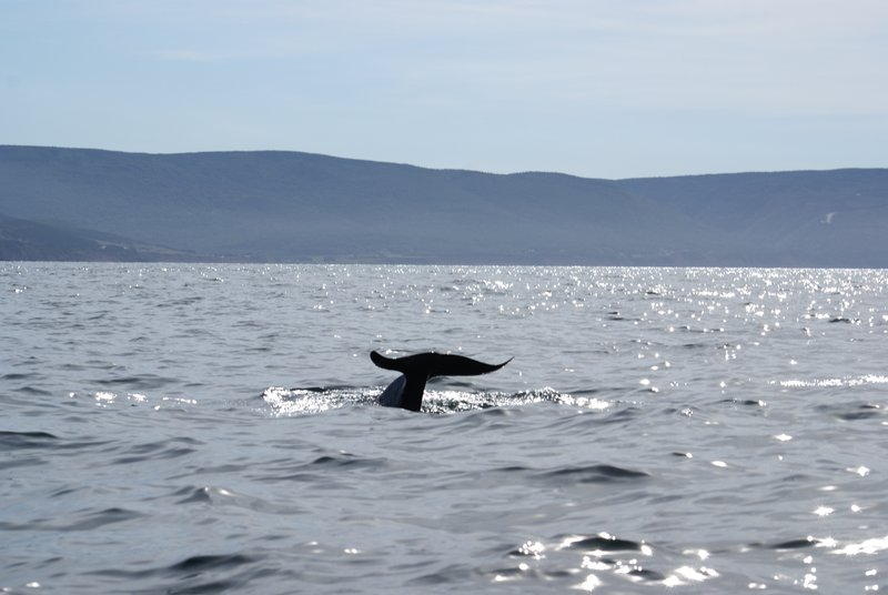 Tail of a pilot whale, Nova Scotia