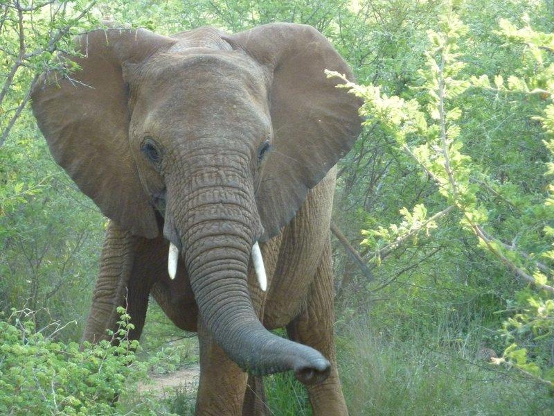 Curious Elephant in Madikwe