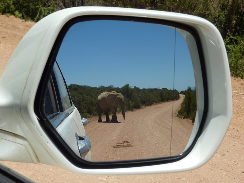 Elephant in the mirror, Addo