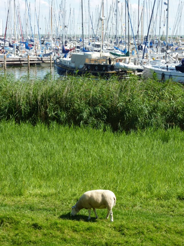 Sheep in front of the Enkhuizen harbour