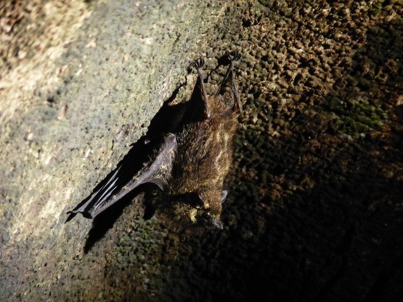 Bat, Tortuguero National Park