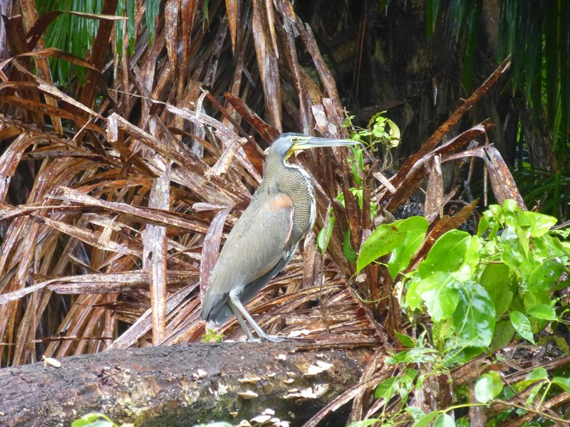 Bare-throated Tiger-Heron, Tortuguero NP