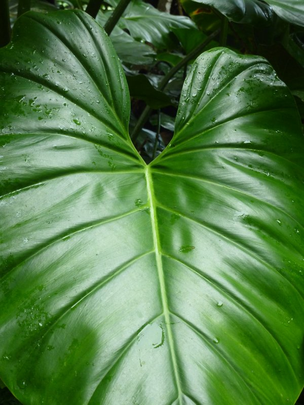 Elephant Ear Leaf, Saba