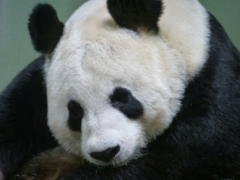 Giant Panda Tian Tian, Edinburgh Zoo