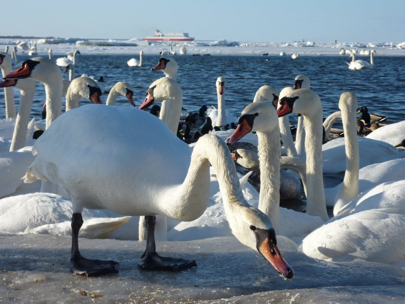 Swans at Tallinn Bay