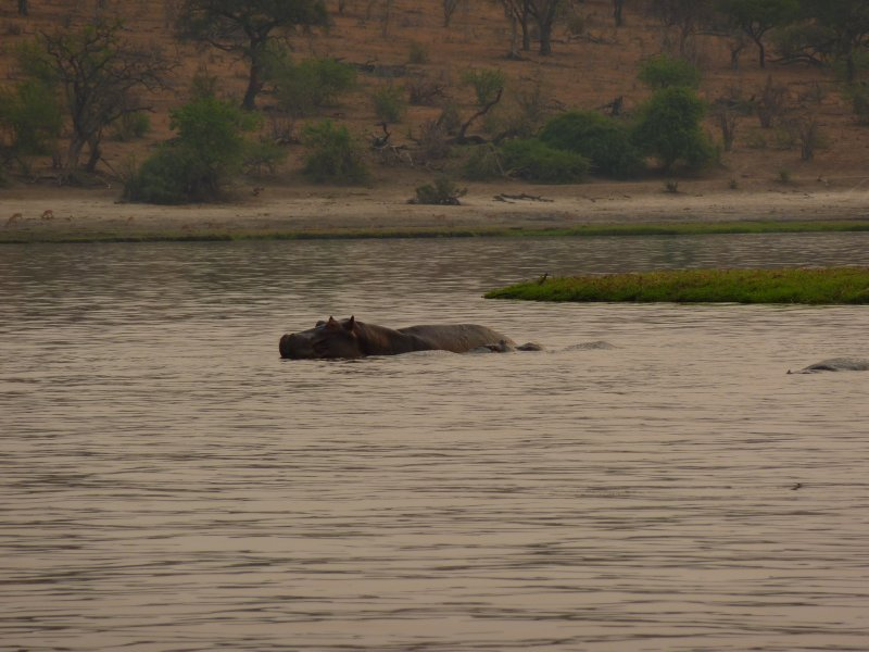 Hippo in the Chobe River, Botswana