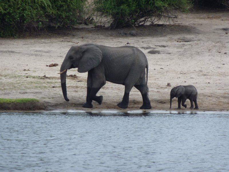 Mother Elephant and her baby, Chobe NP, Botswana
