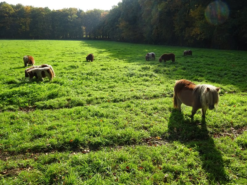 Twente Mini Horses