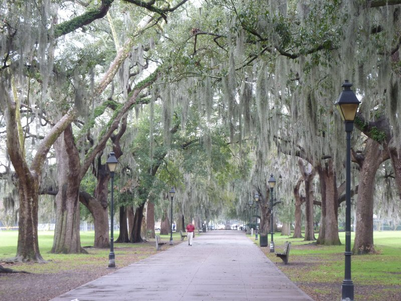 Oak Trees Draped with Spanish Moss