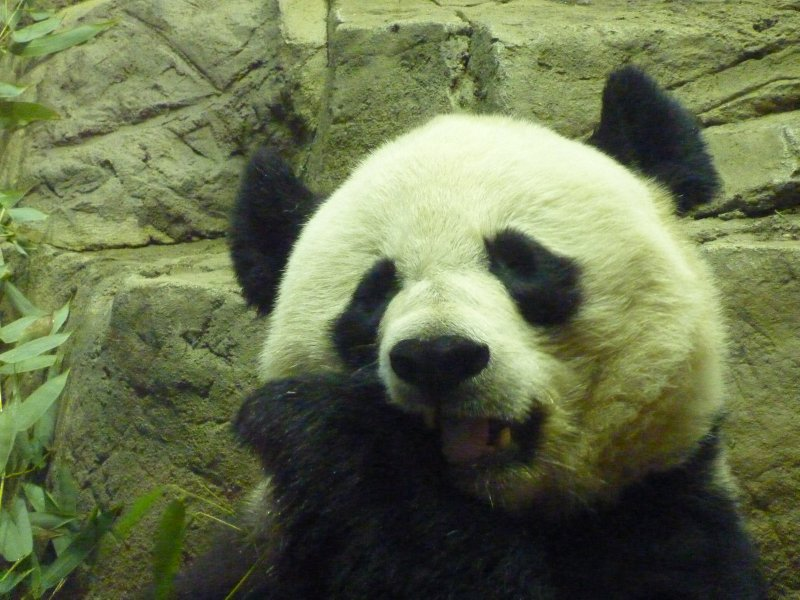 Giant Panda, National Zoo