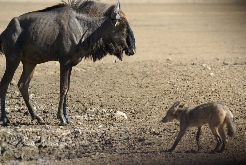 Black Backed Jackall meets Blue Wildebeest