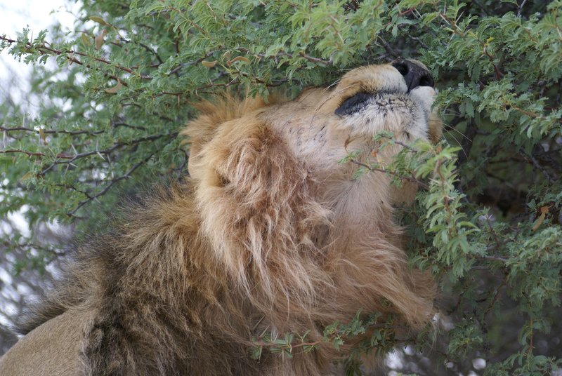 Lion enjoying a tree scratch...;)
