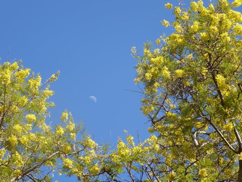 Mosetlha Tree