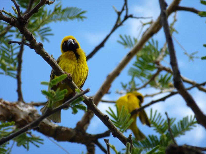 Social Weaver Birds, Drakensbergen