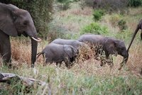 Tarangire Elephants