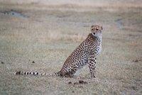 Cheetah in the Ngorongoro Crater