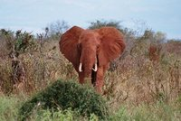 Elephant in red, Tsavo West NP