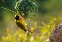 Social weaverbird, Pilanesberg