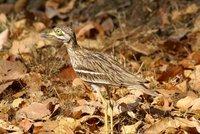 Camouflaged bird, Bandhavgarh