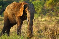 Pilanesberg Park Elephant
