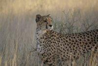 Cheetah: a beautiful creature!