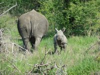 Baby Rhino and mom showing here ass!