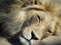 Male lion, Kgalagadi park
