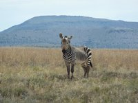 Moutain Zebra NP