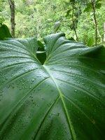 Elephant Ear leafs, Saba