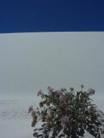 Desert flowers, White Sands, New Mexico